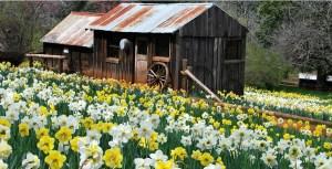 daffodil-hill-amador-county